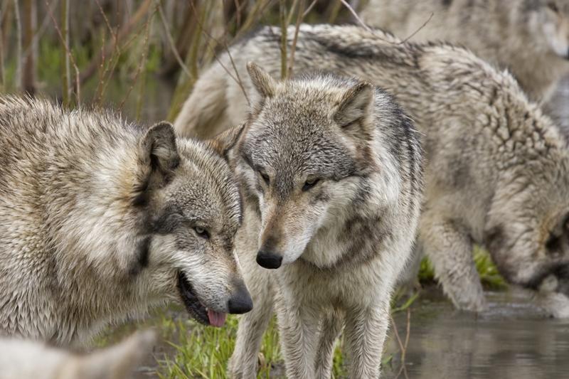 Meet a wolf